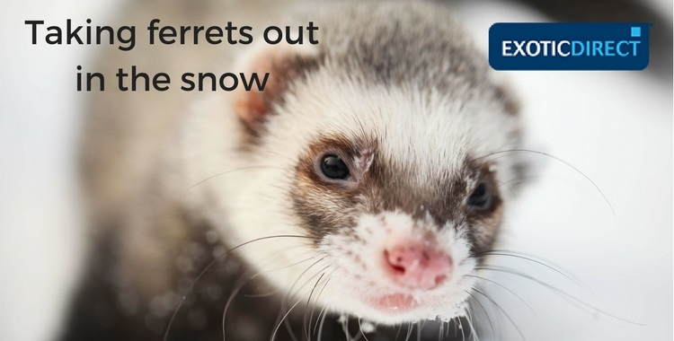 A ferret playing in the snow